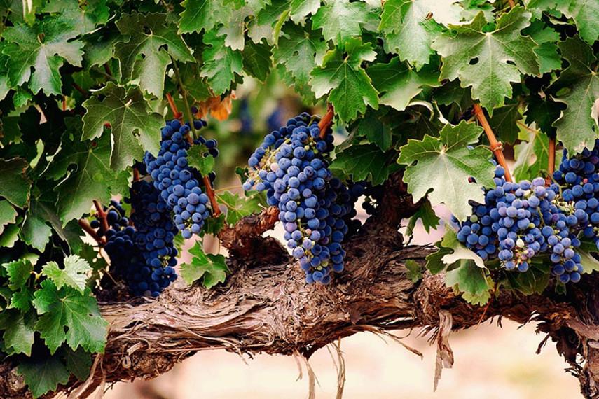 Грузия собирается выращивать виноград на Марсе