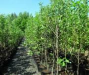 Киевлян просят выбрать деревья, которые высадят на Крещатике