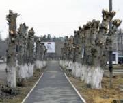В Киеве установили мораторий на обрезку деревьев