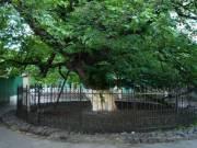 В Киеве создали интерактивную карту самых старых деревьев