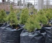В столице увеличат количество многолетних и хвойных деревьев
