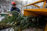 Киевляне сдали на утилизацию более 11 000 елок