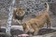 Киевлянам показали, как идет реконструкция столичного зоопарка