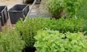 Весной киевлянам дадут бесплатно саженцы для озеленения