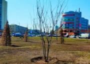 На площади в Дарницком районе высаживают сакуры