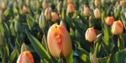 Киевляне увидят 500 тысяч цветов на Певчем поле онлайн