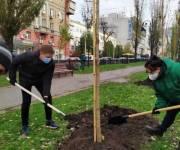 На бульваре Тараса Шевченко высадили безаллергические тополя