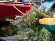 Стало известно, сколько елок киевляне сдали на утилизацию